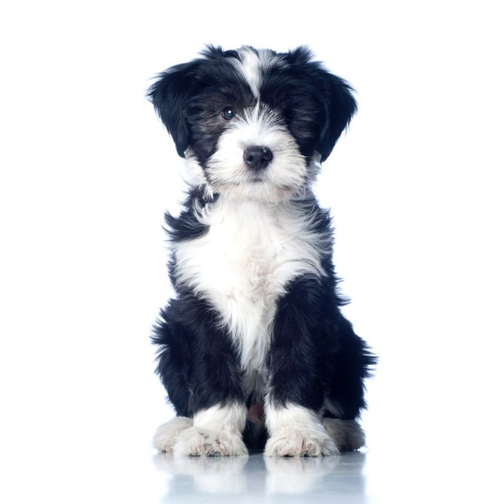 Cute Black and White Tibetan Terrier Puppy Tibetan
