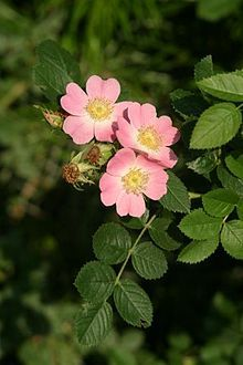 Rosa rubiginosa - Wikipedia, the free encyclopedia, sweet briar rose ... simplicity