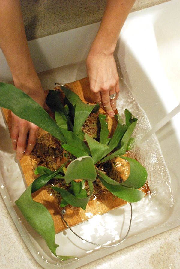 Last week I showed you how to mount a staghorn fern, so now you need to know how to water your new staghorn fern! It's not as hard as you might think. I didn't water mine for over a wee…