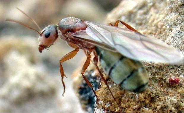 A sociedade das formigas é formada por fundamentalmente por fêmeas – as operárias (estéreis) e uma rainha (fértil). Os machos têm função reprodutiva, ocorrendo em menor número. A formiga-rainha é maior e alada, diferente das operárias. Ela perde o seu par de asas apenas após o voo nupcial.