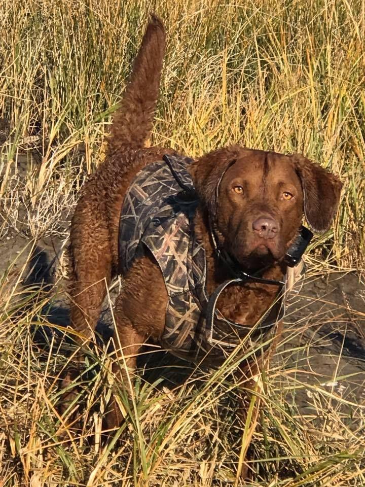 Chesapeake Bay Retriever hunting.