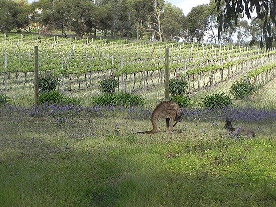 Wine Country in Australia:  Hunter Valley, NSW