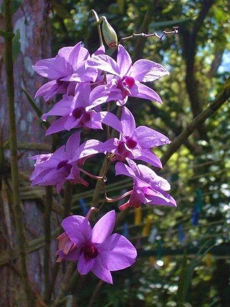 Dendrobium phalaenopsis is an epiphytic, lythophytic or terrestrial orchid. The plant grows up to 80 cm tall and produces pseudo-bulbs, forming a cane.