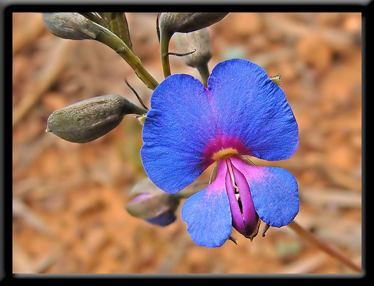 Western Australian wildflowers Handsome Wedgepea....one of the pea family....Here's how the tiny fab-flowers of the pea family  work..  A heavy, nectar-hunting bee lands on a wing petal, which depresses on the keel. ...The keel splits open exposing the stigma and ten stamens to the underside of the insect.