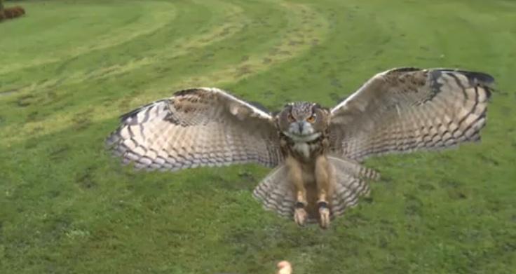 Eagle owl at 1000 frames per Second towards a camera / via robert hodgin