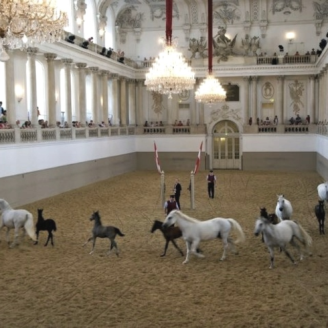 Lipizzan horses with their foals exercising at the Spanish Riding School in Vienna, Austria #feelaustria