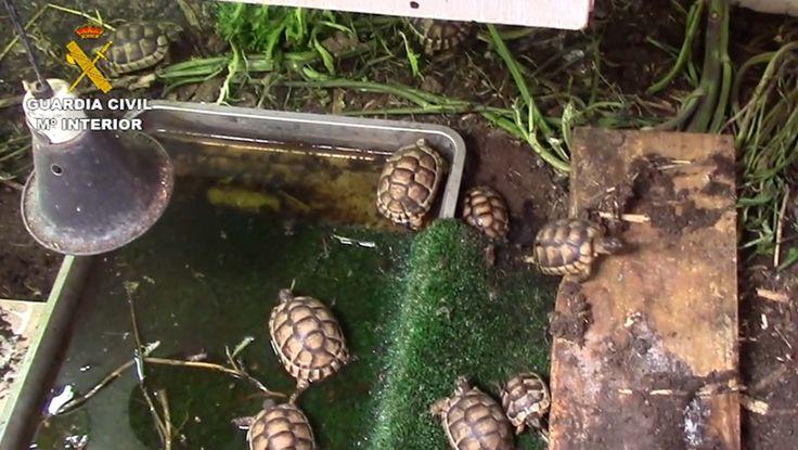Illegal turtle hatchery found in San Pedro del Pinatar - http://www.theleader.info/2018/03/05/illegal-turtle-hatchery-found-san-pedro-del-pinatar/