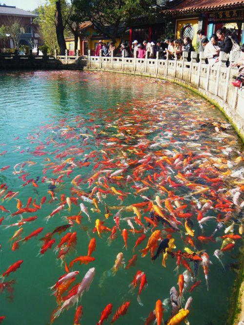 61 best images about koi fish on pinterest japanese koi for Japanese koi pool