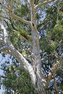 Eucalyptus camaldulensis - Wikipedia, the free encyclopedia