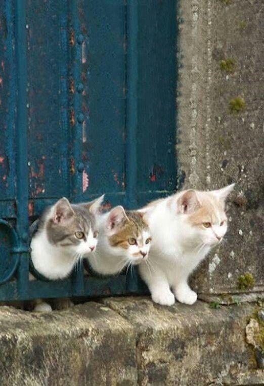 Tres gatos curiosos ...