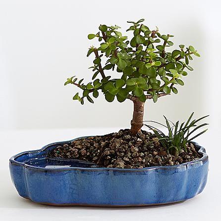 ber ideen zu jade bonsai auf pinterest bonsai. Black Bedroom Furniture Sets. Home Design Ideas