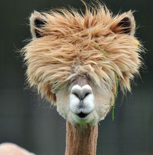 Alpaca-Land Farm, Austria. Freshly sheared alpaca.  http://www.repubblica.it/ambiente/2012/04/29/foto/austria_facce_da_alpaca-34163349/1/?ref=HRESS-28