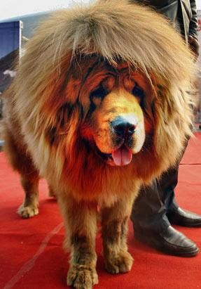 Tibet Mastiff - You can blow out it's hair! How cute!!!