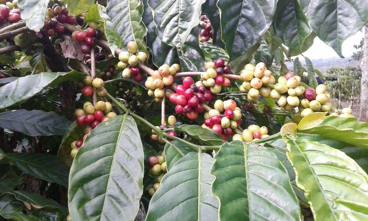 #sumatra #coffee
