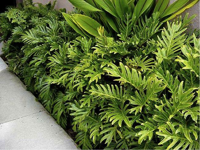 Filodendro Xanadu (Philodendron Xanadu) Planta de folhagem exuberante e tropical. Originária do Brasil, ela desempenha papel importante tanto na criação de selva como nas composições exóticas em jardins. As folhas são mais delicadas que as de um guaimbé e, embora cultivada em sol pleno, resiste em locais de meia sombra. Seu crescimento é lento e não tolera baixas temperaturas.