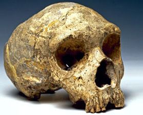 Cráneo de Homo neanderthalensis