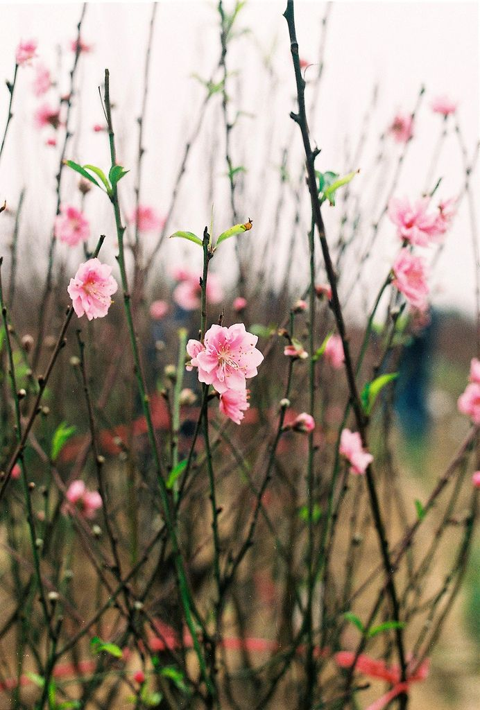 Flowering Quince in early Spring