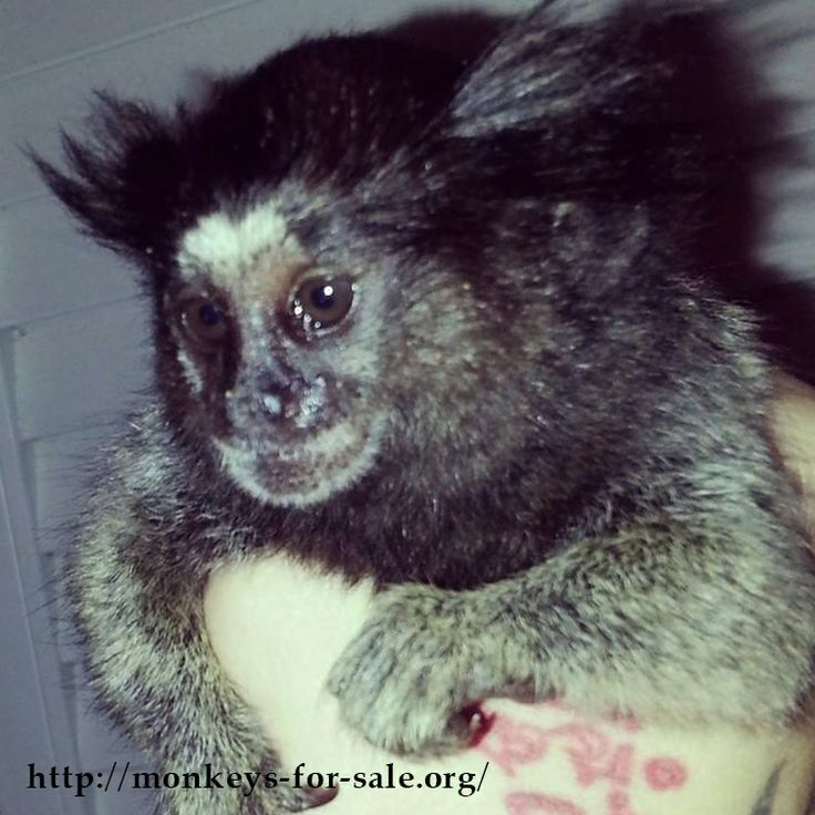 some of the worlds' smallest primates Some monkeys also eat meat in the form of bird's eggs, small lizards, insects and spiders habits & habitat most monkeys live in trees, but there are some that live in savannas or mountain areas.