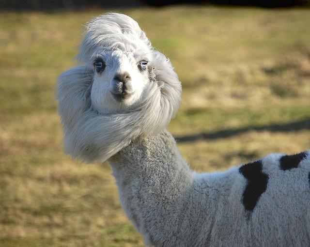 Best Alpacas Images On Pinterest Farm Animals Alpacas And - 22 hilarious alpaca hairstyles