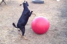 Yoga Ball Goat Toy