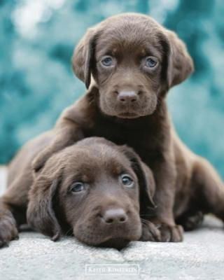 Chocolate Lab Puppies with green eyes!!