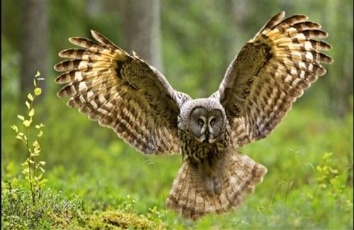 Owl Spreading Wings HD Bird Photos