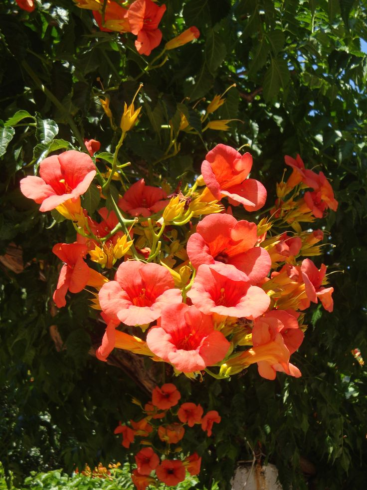 Bright orange blossoms of Panormos (Πάνορμος)
