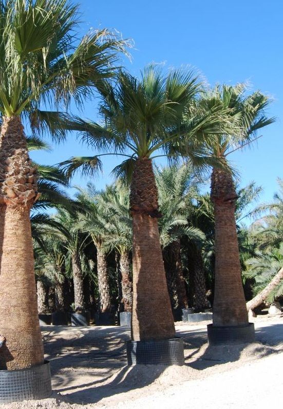 buy cold hardy palm trees California Fan Palm Wholesale Plant Nursery California Palms - Homestead cold hardy plants liners - realpalmtrees TX CA FL