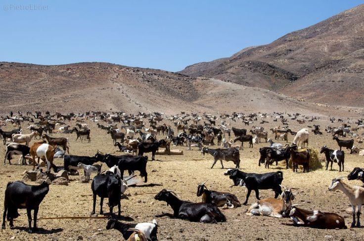 #Goats in #Fuerteventura