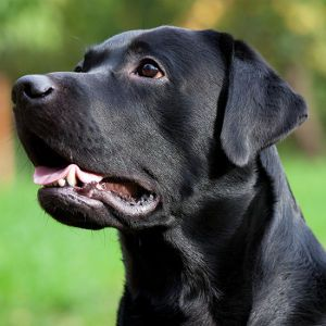 What Do Different Dog Barks Mean? Learn What Your Lab Is Saying in ...