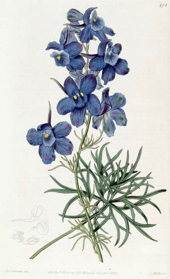 Delphinium, July birth flower. Tattoo idea?