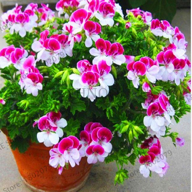 New Arrival 20 Sztuk Fioletowy Univalve Pelargonium Peltatum Byliny Nasiona Nasiona Kwiatow Nasiona Geranium Rose Seeds Flower Seeds Garden Flowers Perennials