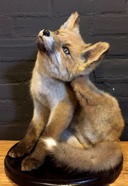 Mounted young foxes. The foxes have recently been set up and made - Full mount. Stuffed animals. Taxidermy animals. - De Jachtkamer