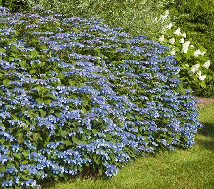 Blue billow hydrangea.: Billowing Hydrangeas Front, White Flower, Blue Hydrangea, Blue Billowing, Billowing Hydrangeas Been, Billowing Hydrangeas For, Shady Spots, Billowing Hydrangeas On, Flower Farm