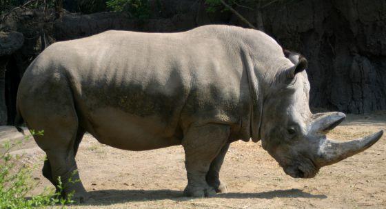El rinoceronte que odiaba el anís   El zoológico de Chapultepec de la Ciudad de México despide a Khartoum, el único ejemplar de su especie que les quedaba