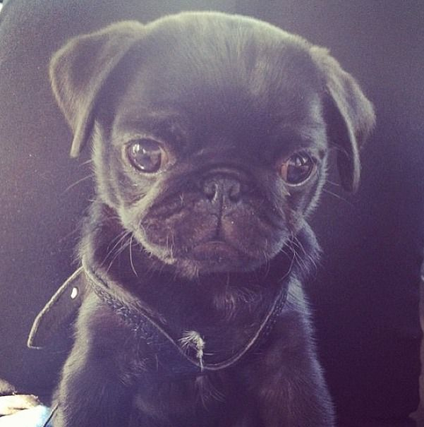 Best Pug Pups Images On Pinterest Beautiful Dogs And Heart - Seeing tiny puppies trying to walk for the first time will melt your heart