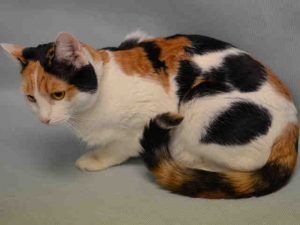 SNICKERS MAY HAVE HAD A RECENT LITTER - SHE HAS ENLARGED MAMMARY GLANDS BUT IS NOT LACTATING. NEEDS A HOME!