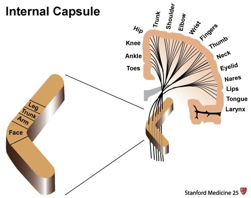 posterior internal capsule - Google Search