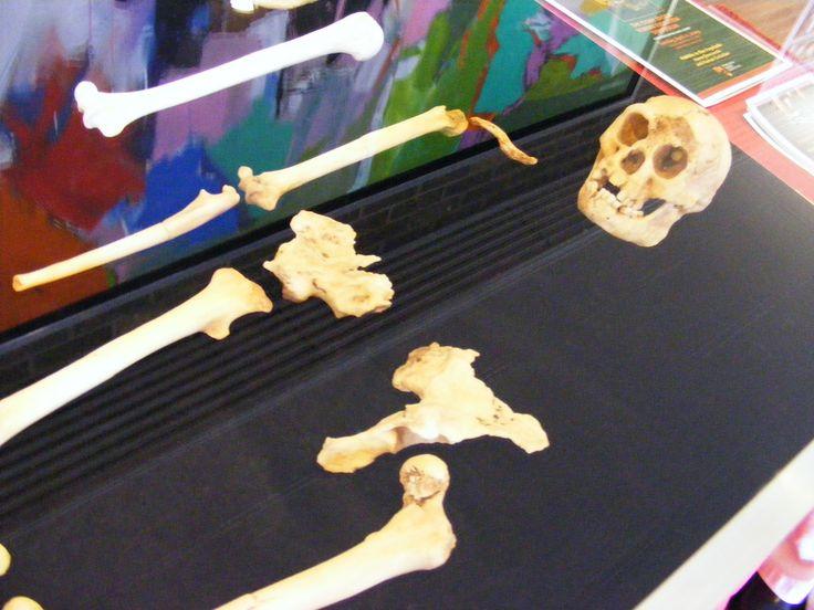 Specimen LB1 - Homo floresiensis - Wikipedia