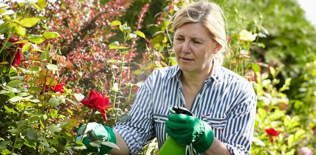 garden spray roses