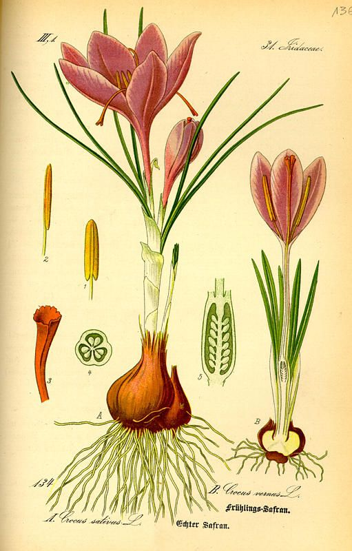 crocus botanical print