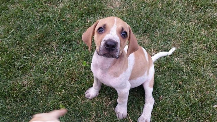Pistachio is an adoptable Hound searching for a forever family near Oak Lawn…