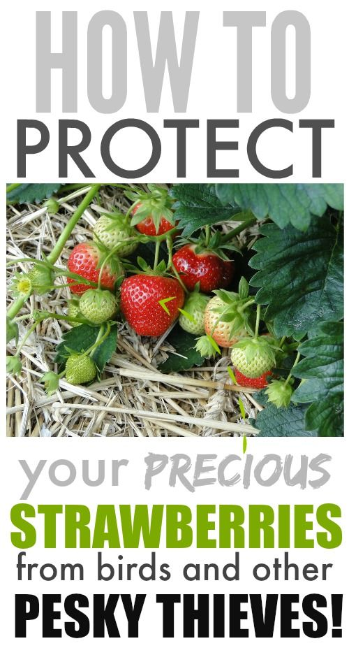 Yes! This is awesome! I hate it when birds and other pests steal my strawberries before I can get to them!