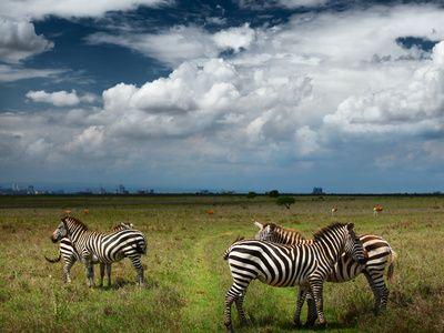 Zebras in Savanna of Nairobi National Park. Nairobi Skyline is Visible on the Horizon. Kenya