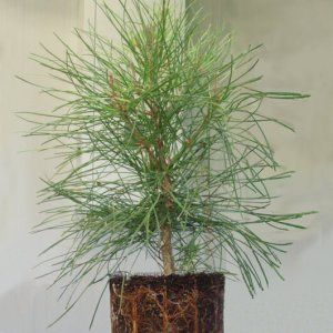 Understanding the interactive effects of elevated CO2 concentration and water availability on tree functioning is fundamental for the advance of both forest science and global climate change research. In this study Sánchez-Gómez et al. conduct a controlled experiment in growth chambers with clones of Pinus pinaster with contrasting drought tolerance to test the hypothesis that intraspecific variability in drought tolerance can be modulated by elevated [CO2].  Intraspecific variation in leaf…