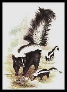 STRIPED-SKUNK-Vintage-Illustration-Print