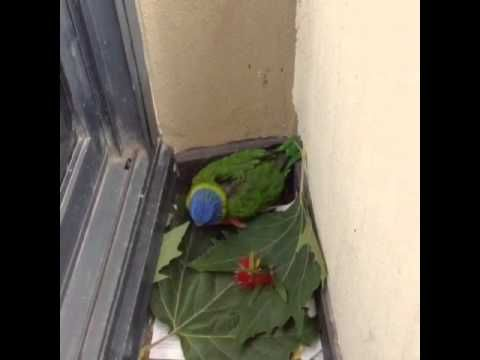 Little Don lorikeet tries to sing Bach Concerto each morning (a tune or ...