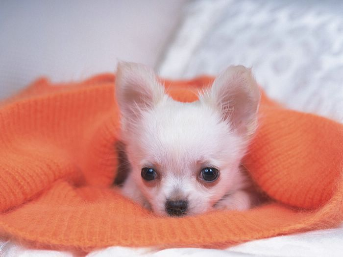 cute animals pictures chihuahuas | ... Cute puppies - Photo: Baby Chihuahua in blanket - Cute Chihuahua puppy
