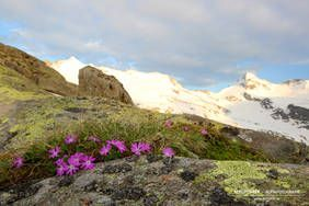 Blumenpracht am Fuß des Großvenedigers (Obersulzbachtal, Nationalpark Hohe Tauern, Neukirchen am Großvenediger, Salzburgerland)