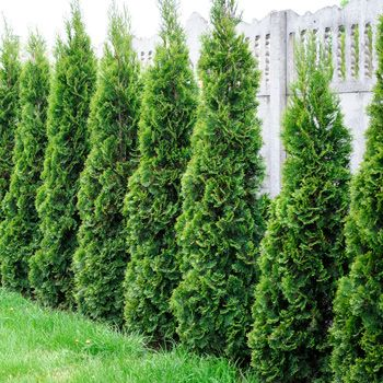 25 Best Ideas About Hedge Trees On Pinterest Fast